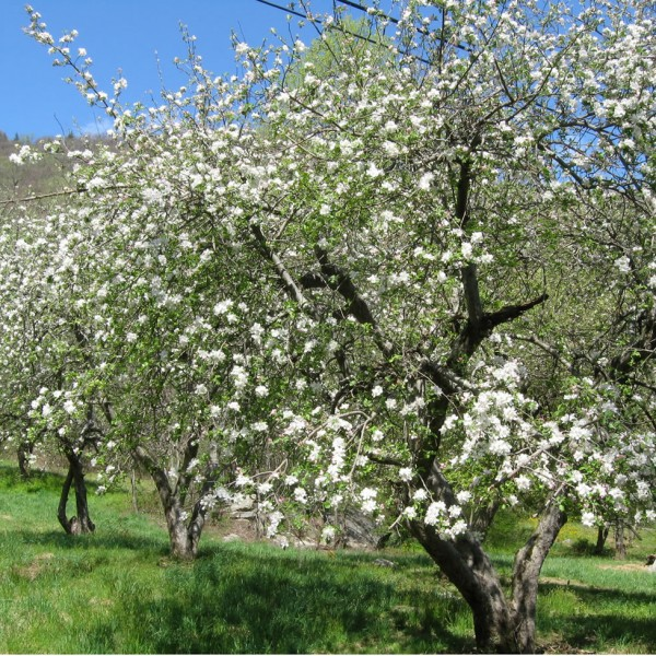 Hickory Nut Forest Apple Orchard in Bloom