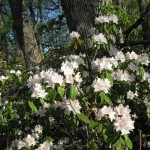 Rhododendrums in Bloom