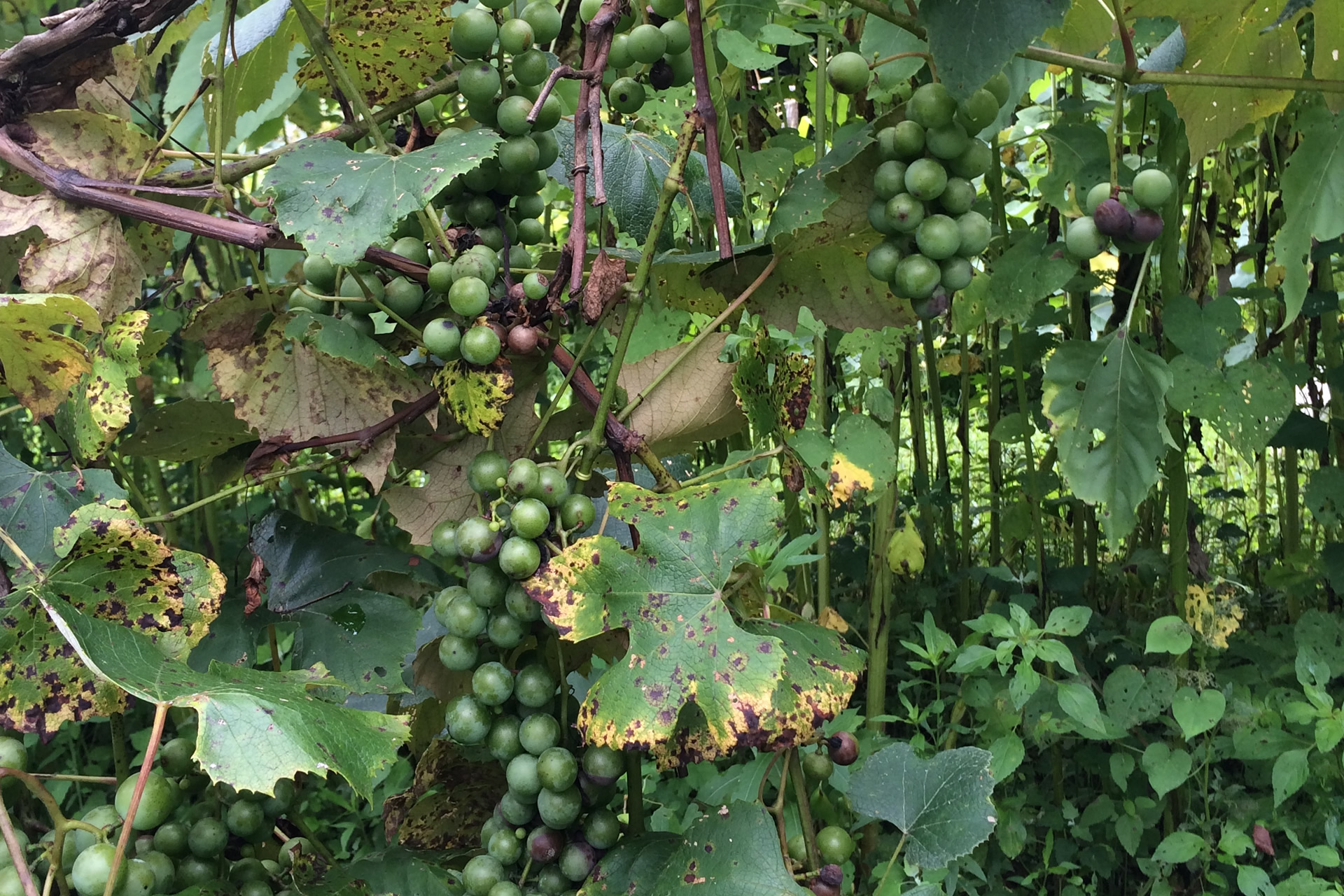 Grapes Hickory Nut Forest North Carolina