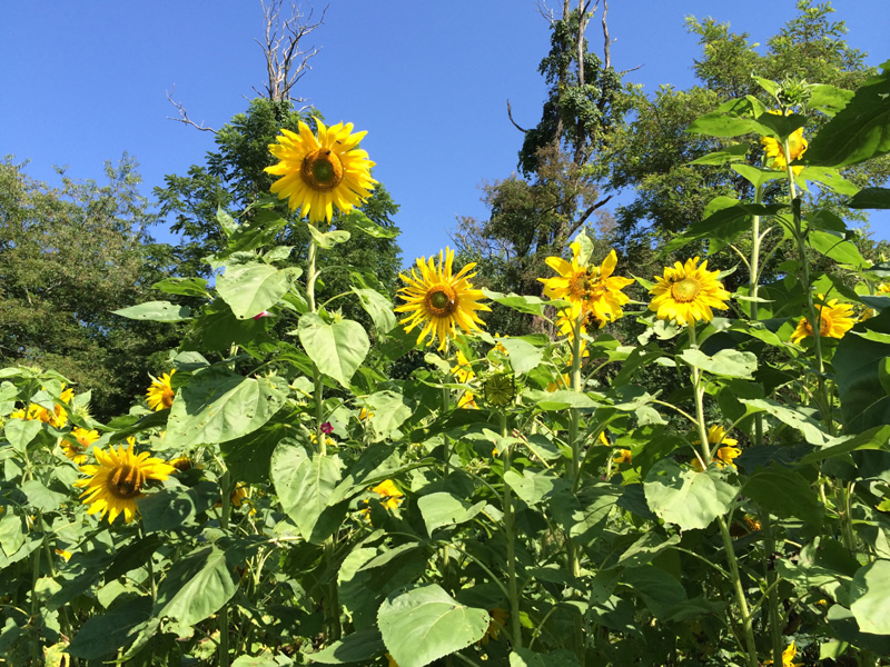 Sunflowers in the Community Garden
