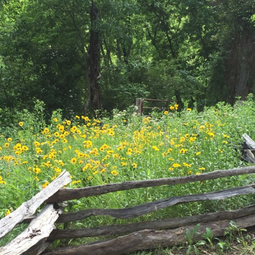 Coreopsis blooming at Laughing Waters