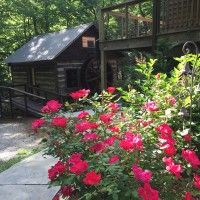Roses in bloom at Laughing Waters