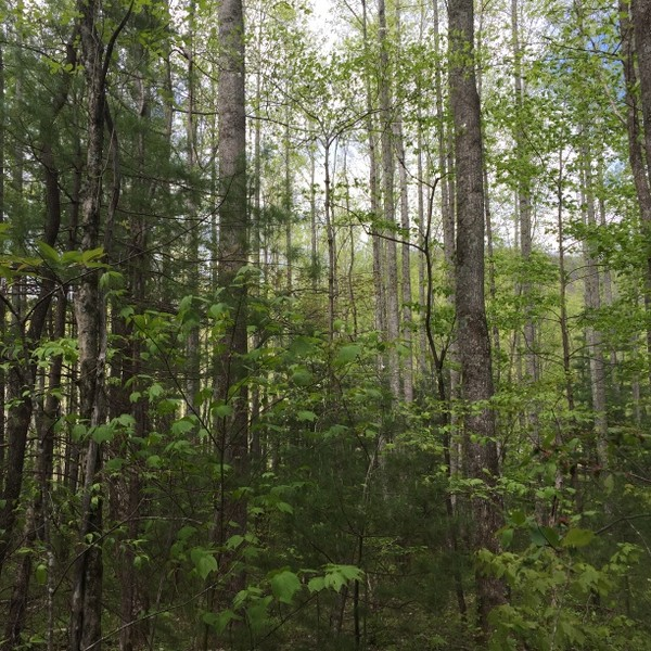 Hickory Nut Forest Lot 7