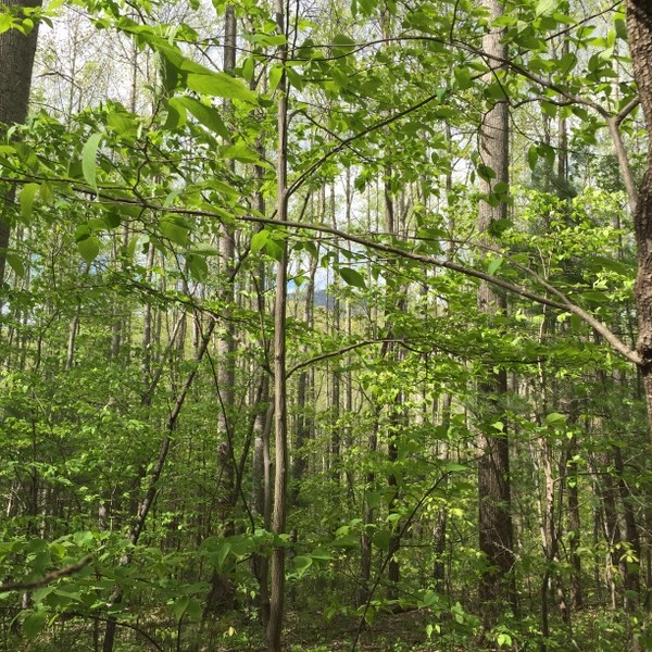 Hickory Nut Forest Lot 10
